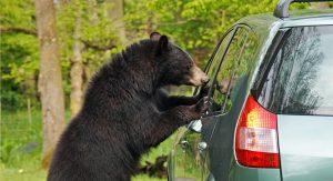bear and a car - bearwise - never approach a bear