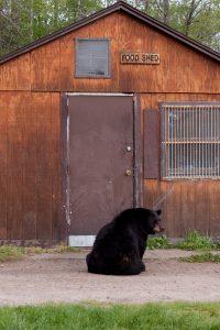 black bear at shed