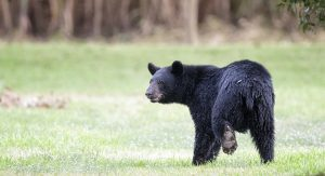 vacation rentals and bear country - bearwise