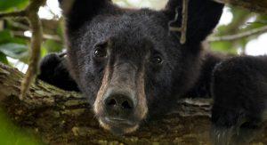 bear in a tree - bearwise