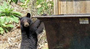 bear at dumpster