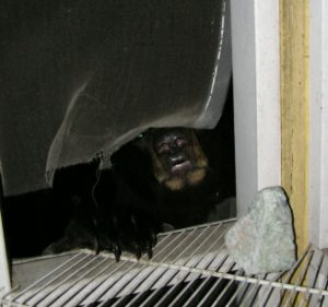 bear in window