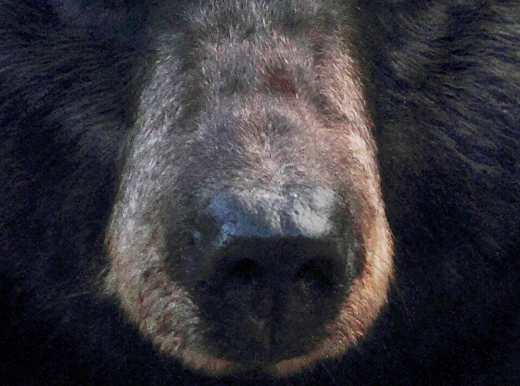 black bear nose (closeup photo)