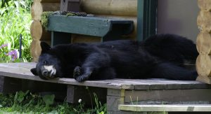 bear safety - bear on the porch