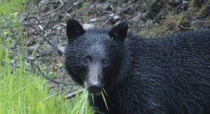 bear eating grass roadside - bearwise