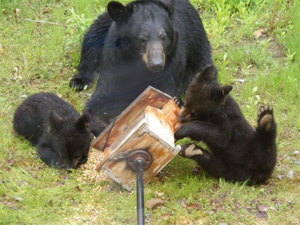 Bear family raiding bird feeder