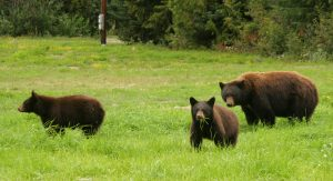 bears in a meadow - bearwise