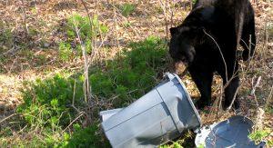 black bear in the trash - bearwise