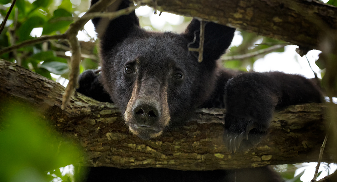 black bear in tree, photo by Steve Uffman