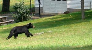 bear in neighborhood - bearwise