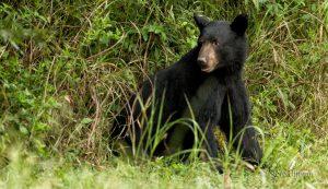 hunting black bears - bearwise