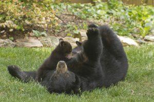 Black Bear Nursing her Cubs