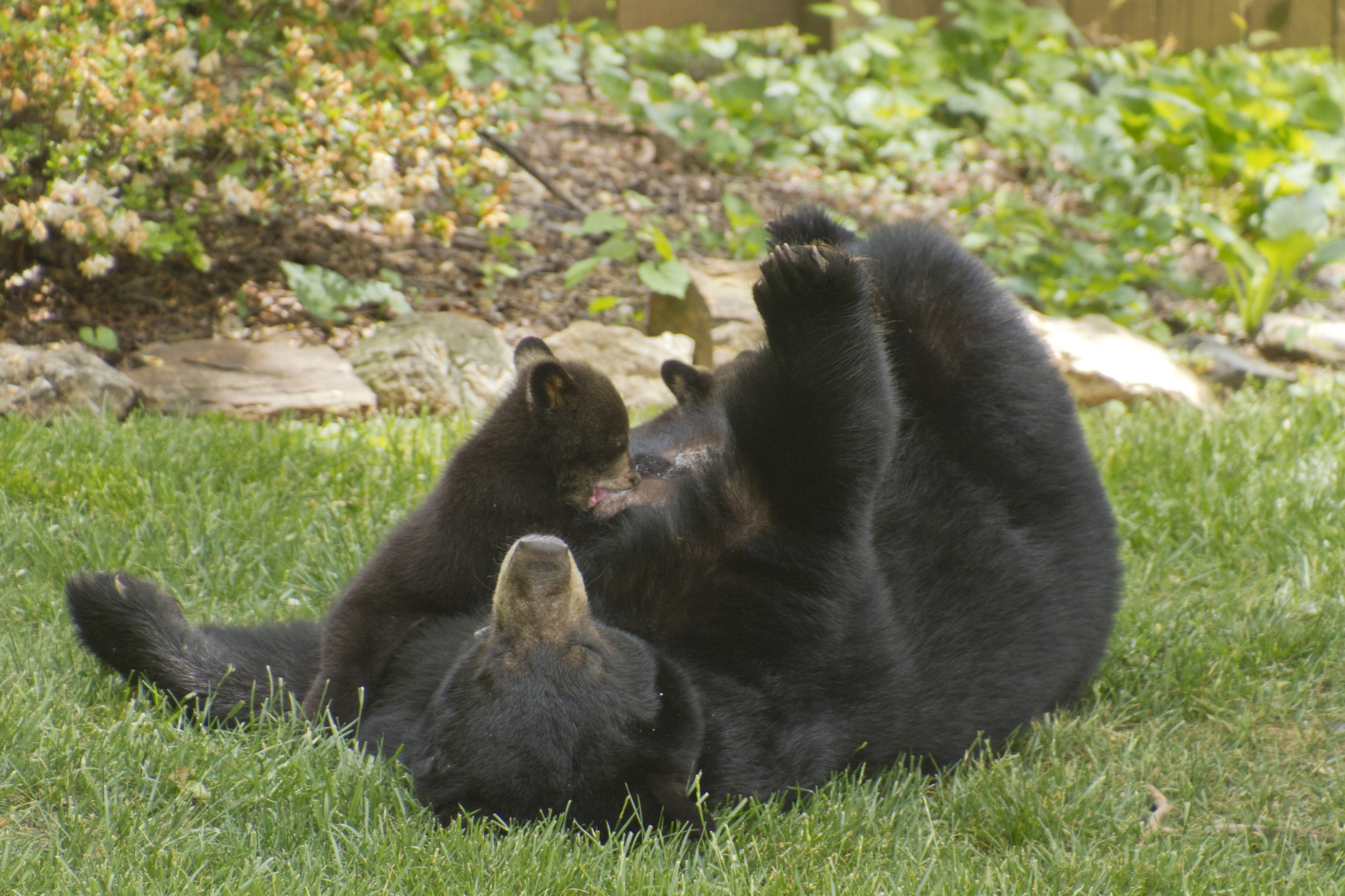 Black Bear Nursing her Cubs