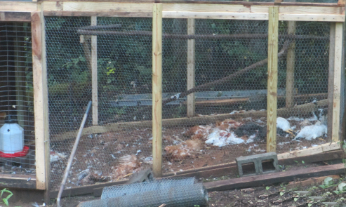 chickens killed by a bear