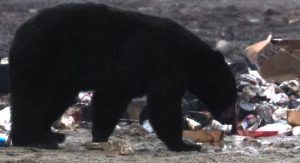 bear at the dump - bearwise