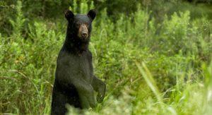 black bears in bear country