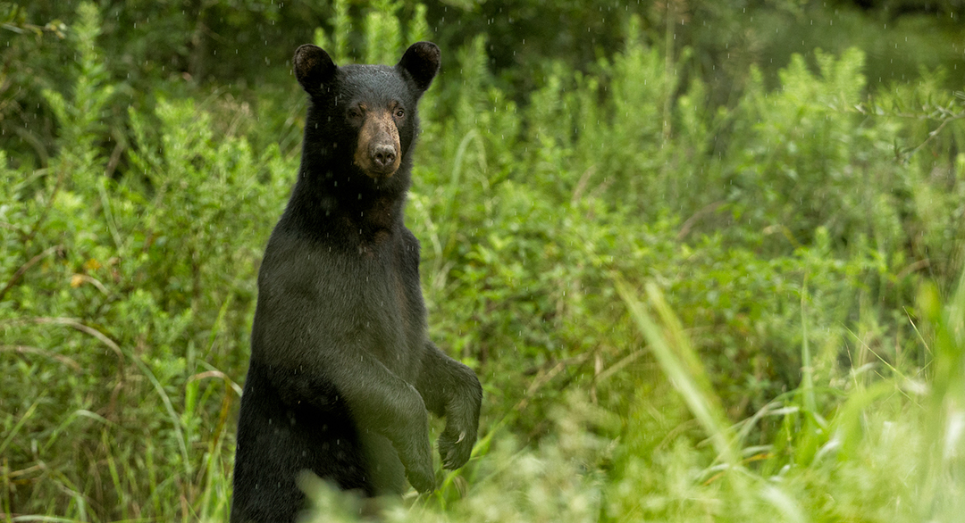 black bears in bear country