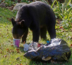black bear eating trash