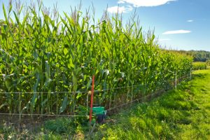 cornfield protected by electric fence
