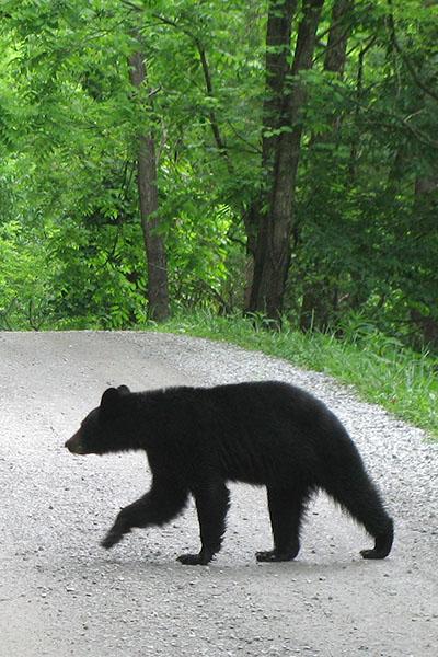Bear at Great Smoky National Park (Photo: Warren Bielenberg)