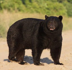 never approach bears