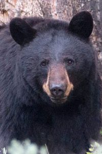 BearWise-black-bear-sow