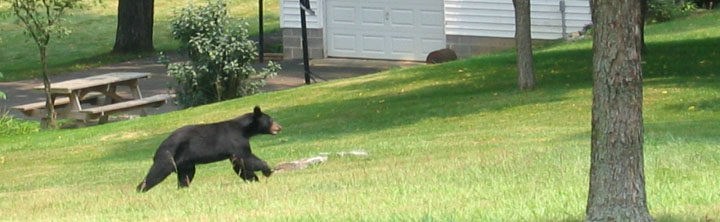 bear running in neighborhood