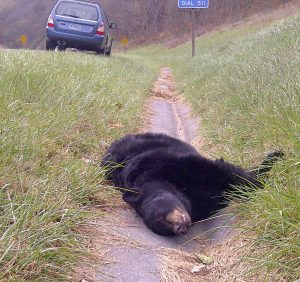bear killed on the road