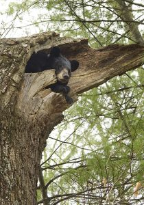 Bear den up in tree