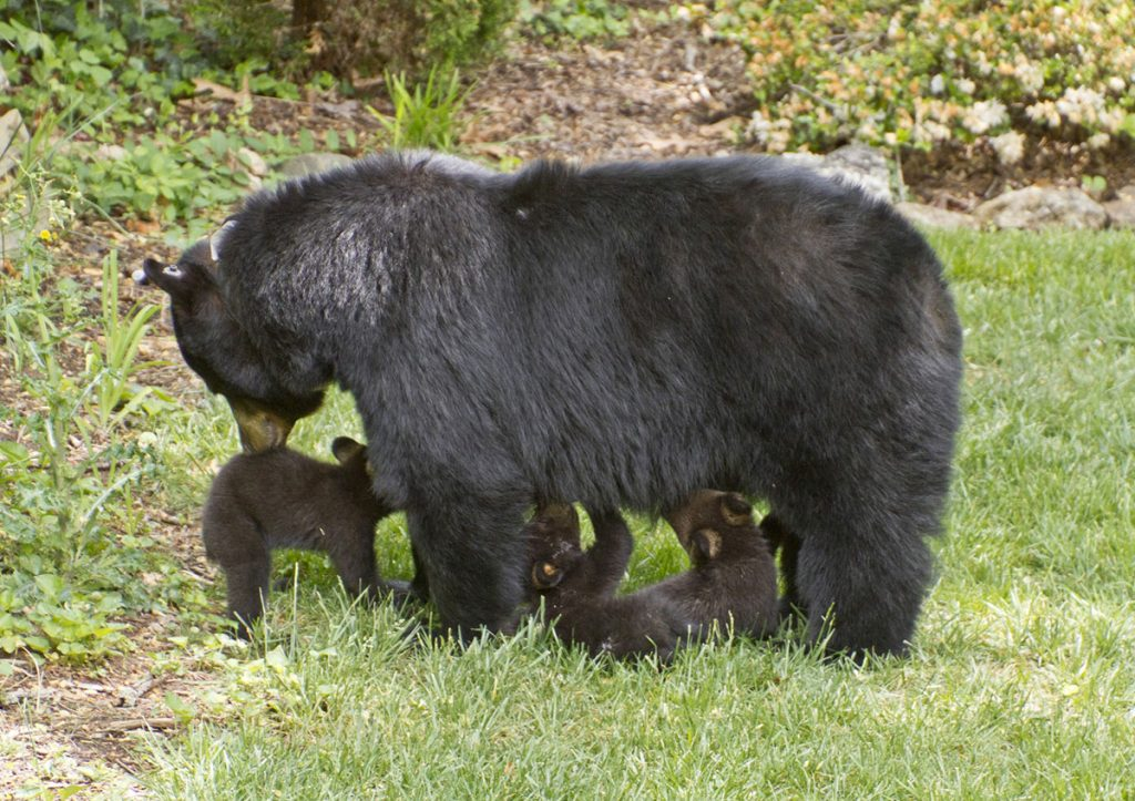 Black Bear Nurses 3 Small Cubs
