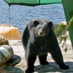 black bear camp