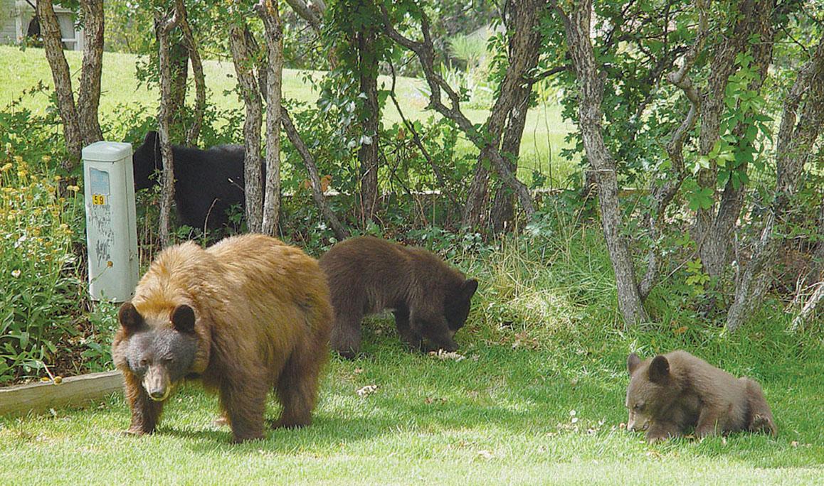backyard bears-Durango